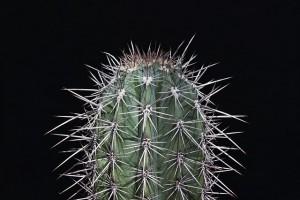 cactus-733376_640